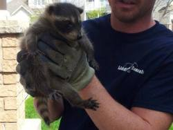 Liddle Rascals | Wildlife Removal Toronto