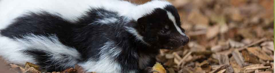 skunk removal liddle rascals
