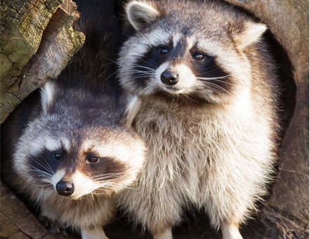 Raccoon Removal in Markham, North York