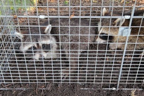 How To Safely Remove Unwanted Raccoons From Your Home