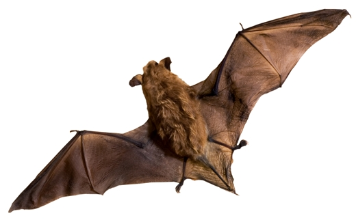 Types of Bats Found in Canada