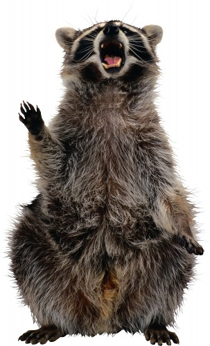 Home Safety Tips That Keep Racoons At Bay
