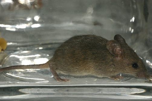 Facts About the Mouse and Its Unusual Antics