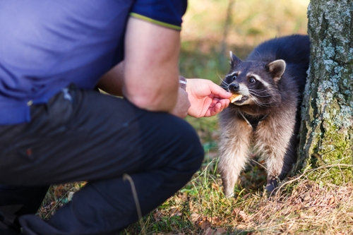 Raccoons Mating Soon: How to Remove Them