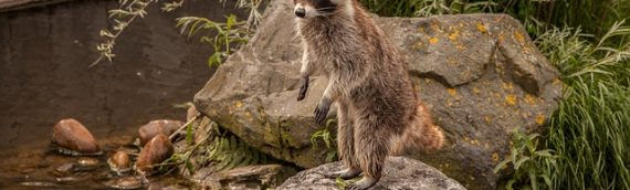 Reasons Raccoons Return to Your House (again… and again…)