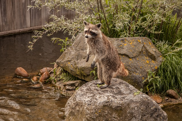 Reasons Raccoons Return to Your House (again... and again...)
