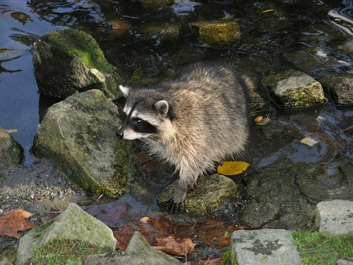 Infectious Diseases Carried By Raccoons