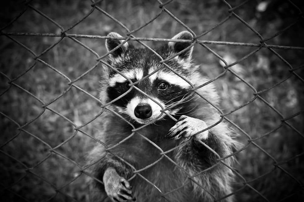 Why You Shouldn't Treat Raccoons and Squirrels Like Pets