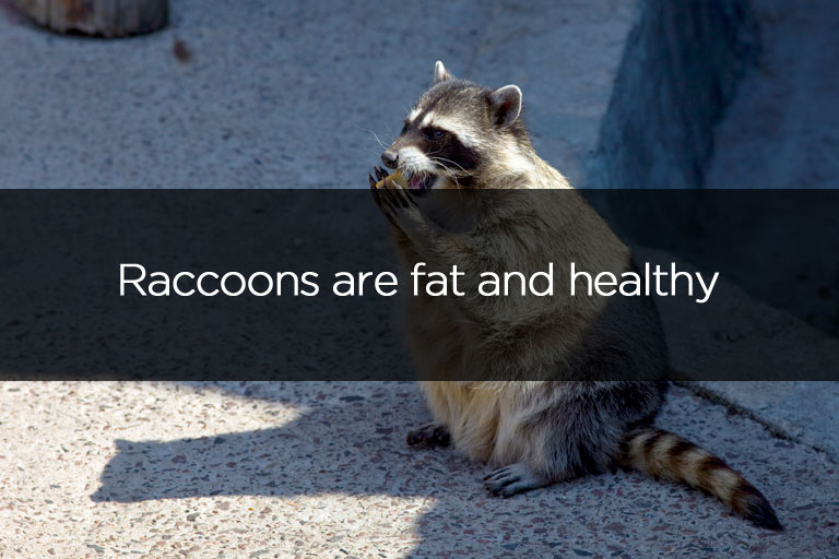 Raccoons are fat and healthy