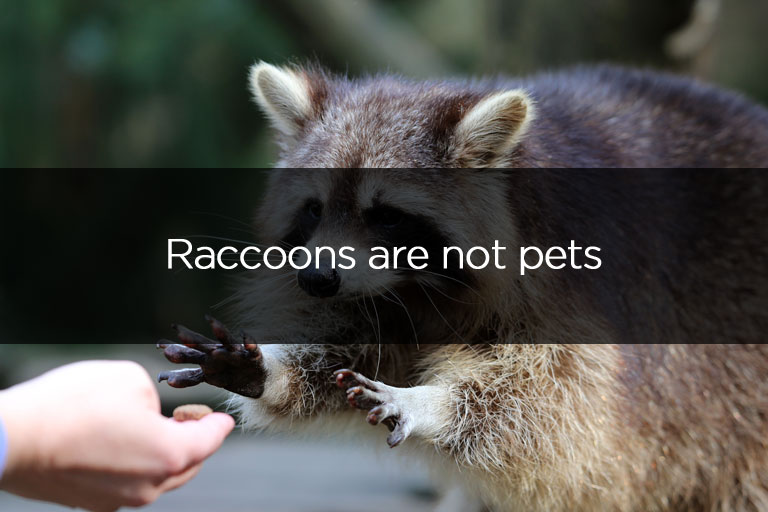 Liddle Rascals Raccoons are not pets
