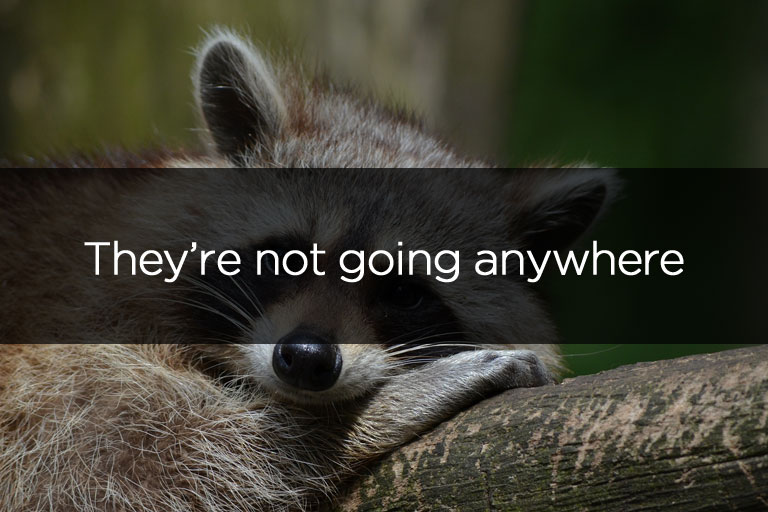 Raccoons are not going anywhere