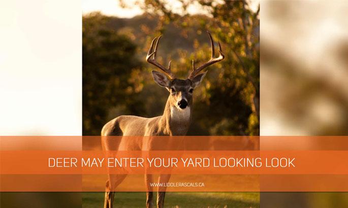 deer-may-enter-your-yard-looking-look