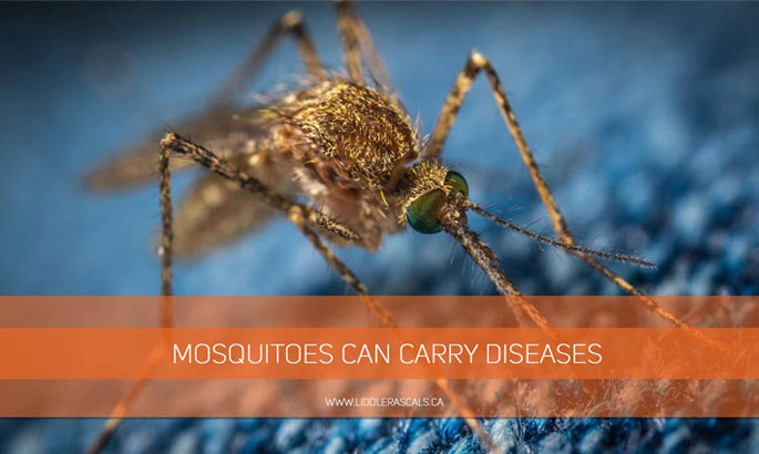 mosquitoes-can-carry-diseases