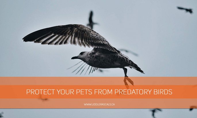 protect-your-pets-from-predatory-birds