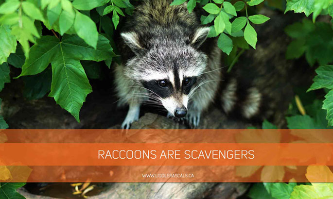 raccoons-are-scavengers