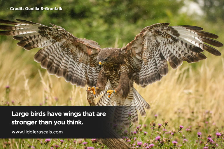Large birds have wings that are stronger than you think.