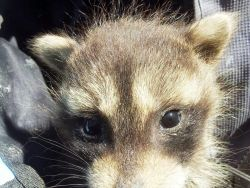 3 to 4 week old baby raccoon