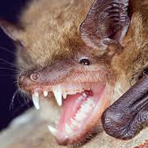 bats removal services