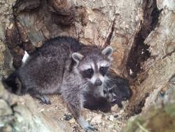 raccoon living in a hollowed out tree with her litter ofbabies