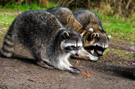 Top Facts on Wild Raccoons