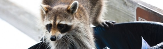 Home Safety Tips That Keep Raccoons At Bay