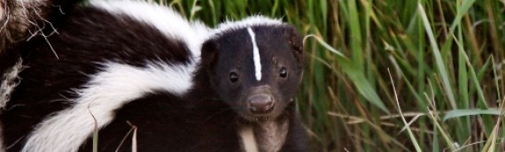 7 stinking facts about skunks