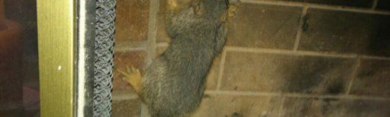 Squirrels Venture into Ventilation Systems