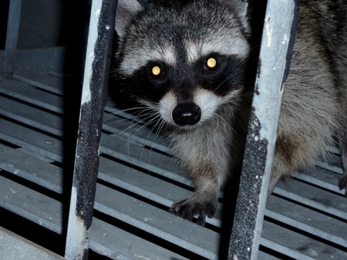 Winter Is Raccoon Season For Many Homeowners