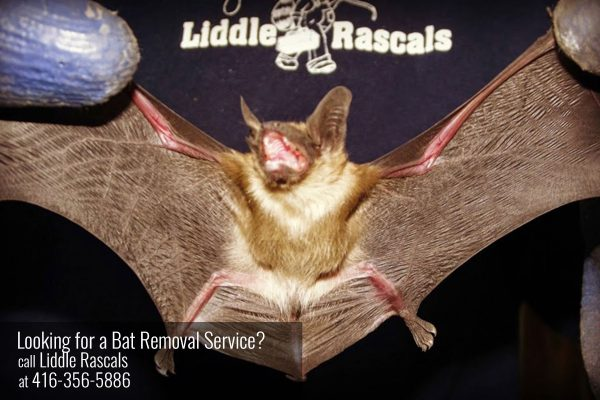 Two Human Diseases Carried by Bats
