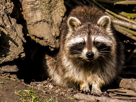 Why Toronto Became the Raccoon Capital of the World