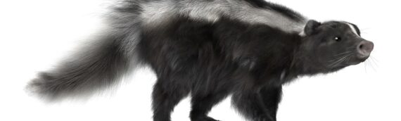5 Facts about Skunks that you should know