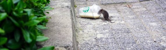 Toronto's Rat Problem: What's Being Done …and What You Can Do to Help