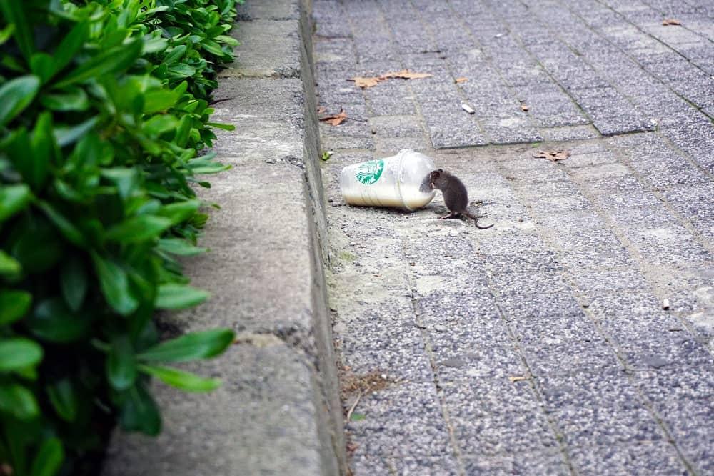 Toronto's Rat Problem