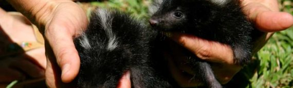 Why Skunks Are a Toronto Concern