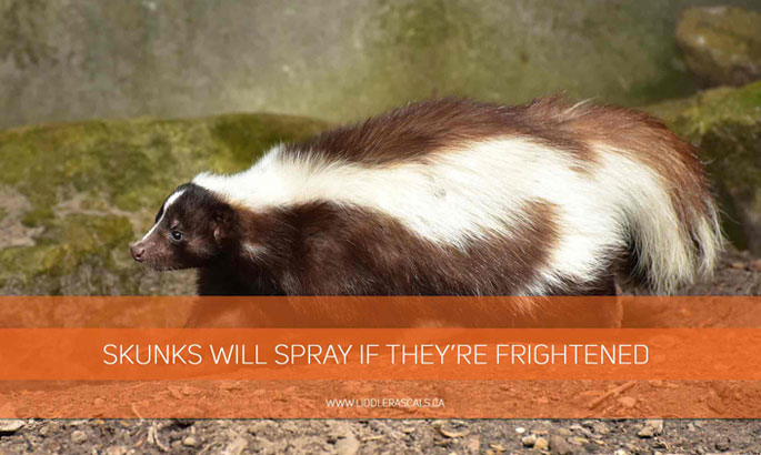 Skunks-will-spray-if-theyre-frightened