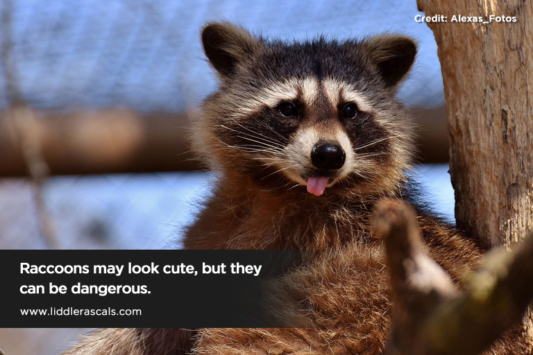 Raccoons may look cute but they can be dangerous