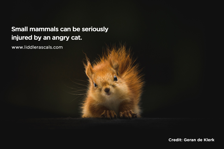 Small mammals can be seriously injured by an angry cat.