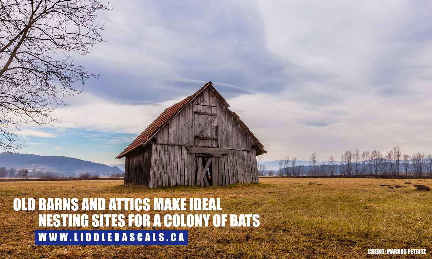 Old barns and attics make ideal nesting sites for a colony of bats