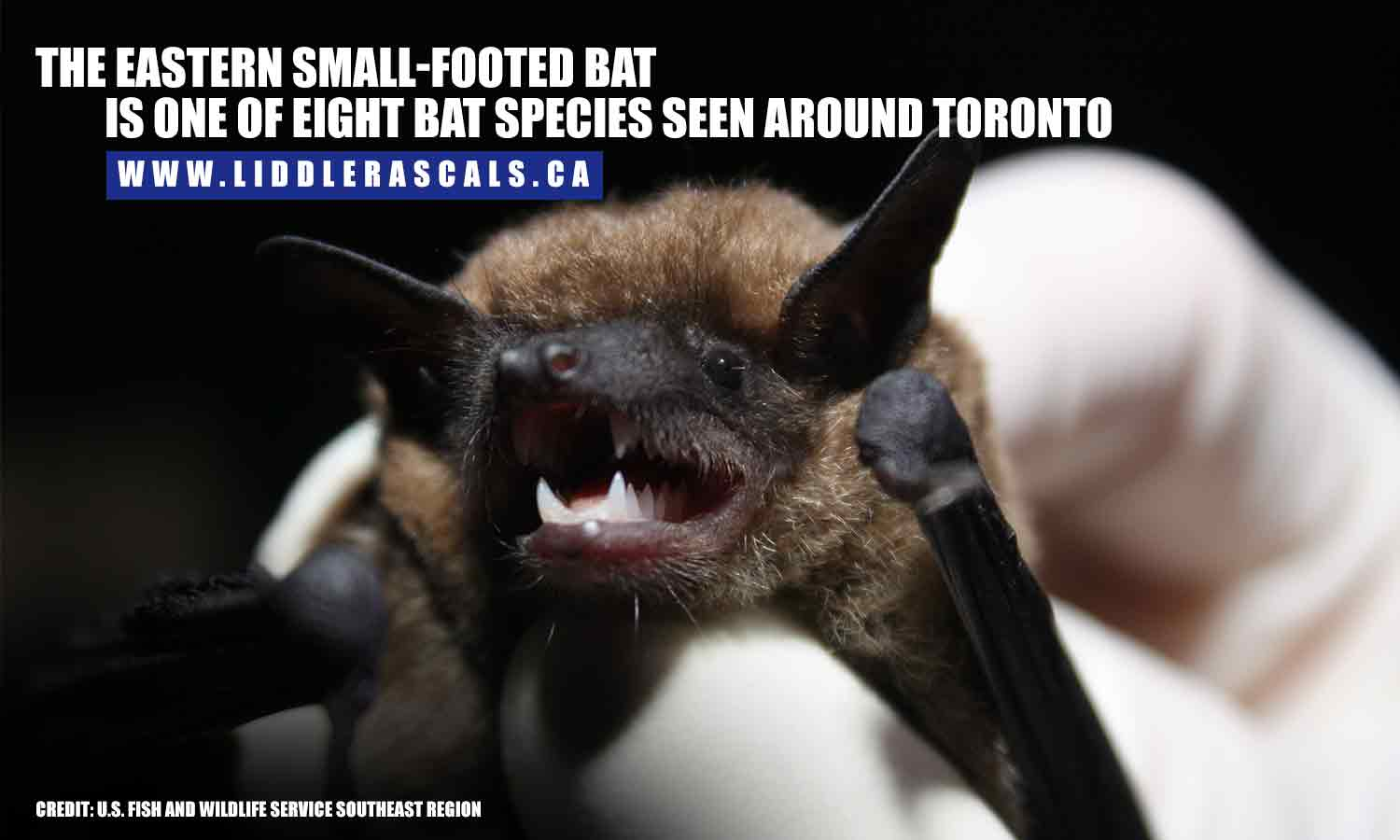 The Eastern small-footed bat is one of eight bat species seen around Toronto