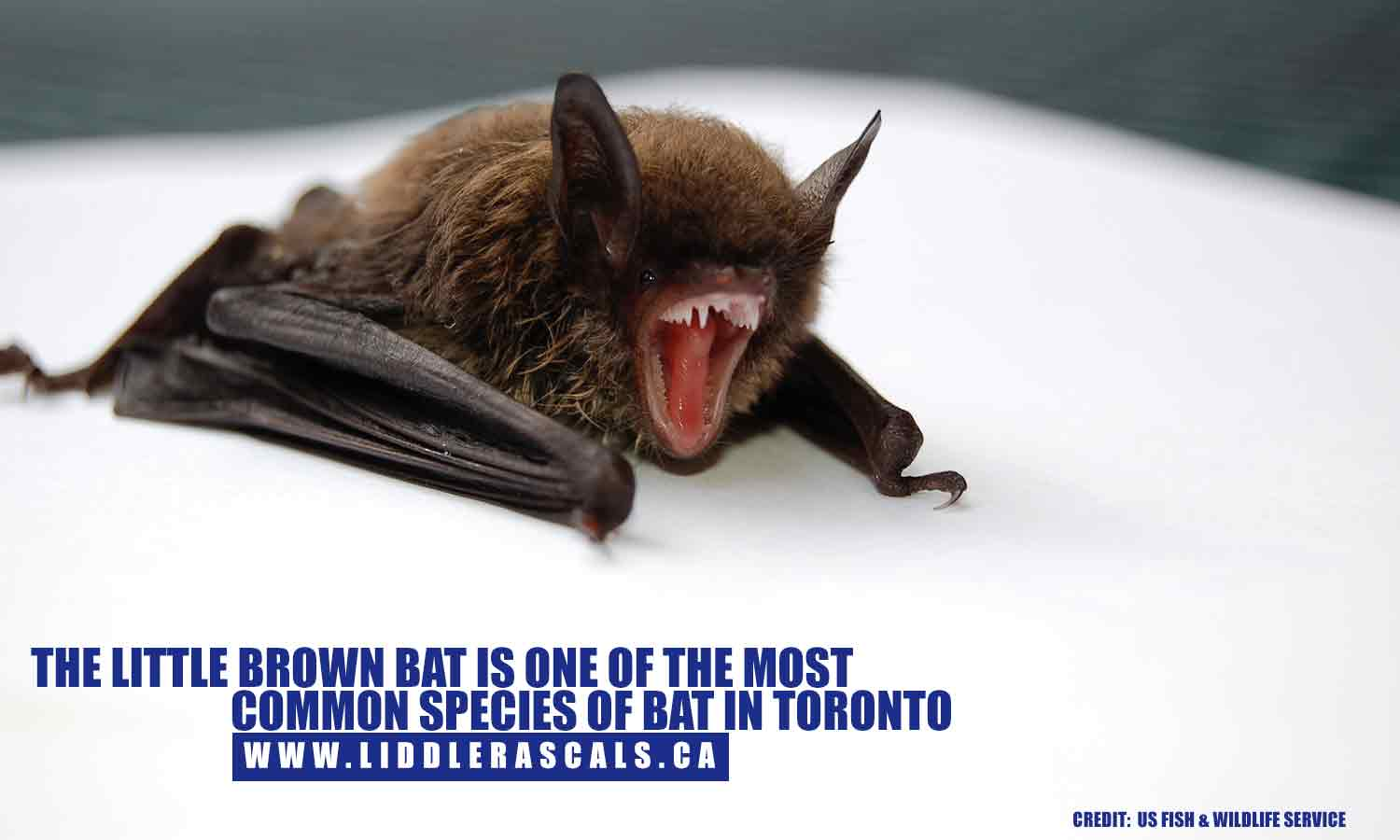 The little brown bat is one of the most common species of bat in Toronto