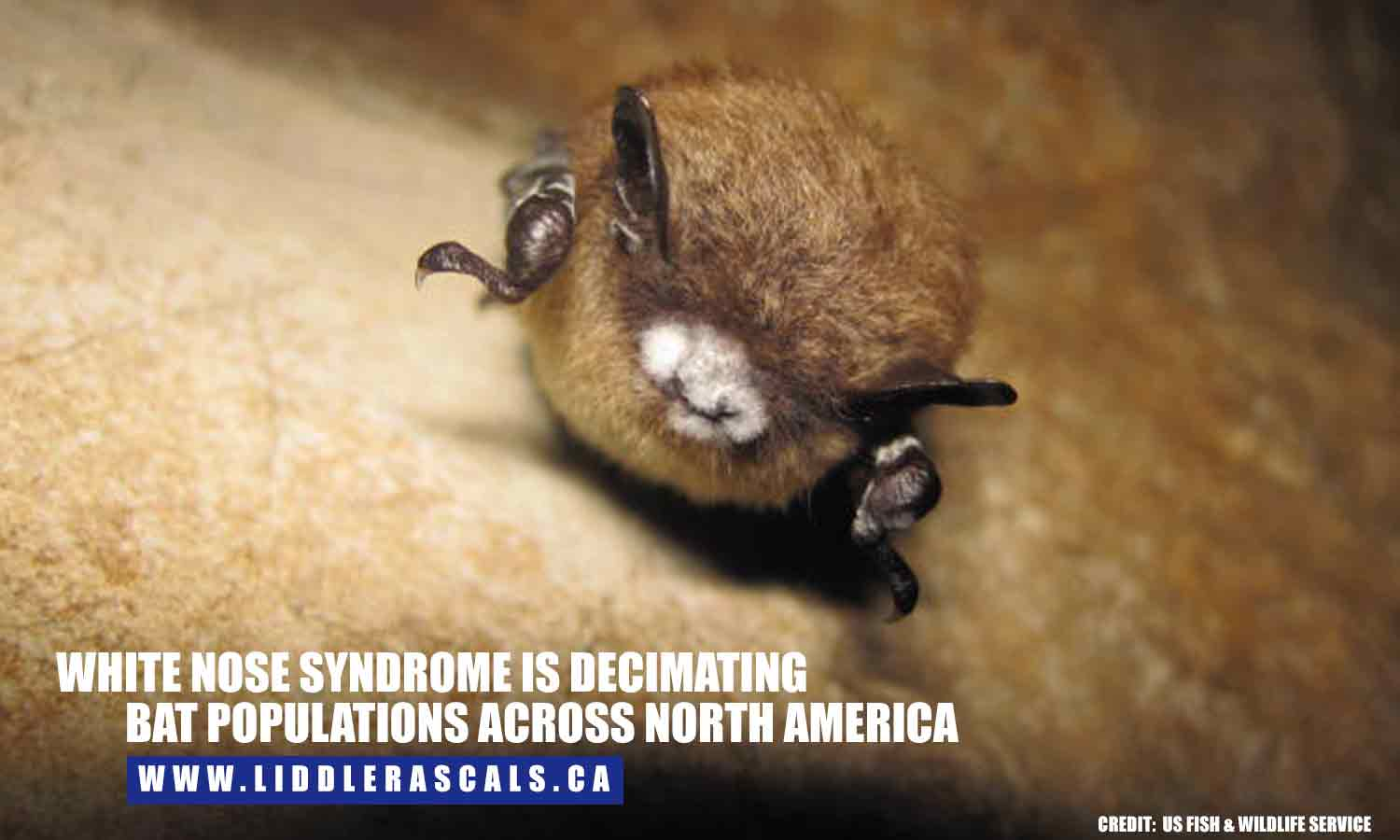 White Nose Syndrome is decimating bat populations across North America