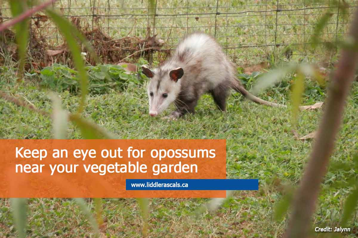 Everything You Need to Know About Opossums in Toronto