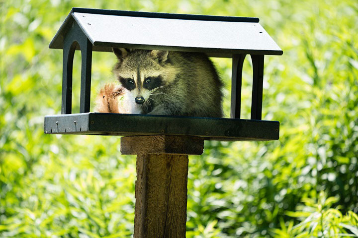 Raccoon Removal in Markham, North York, and Pickering