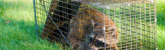 Critters In Your Yard: Deterring Urban Wildlife