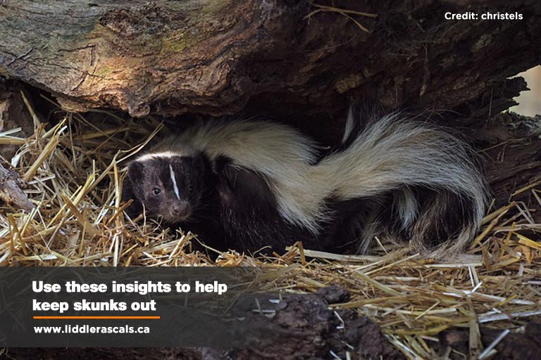 What to Do If You Have a Skunk Problem